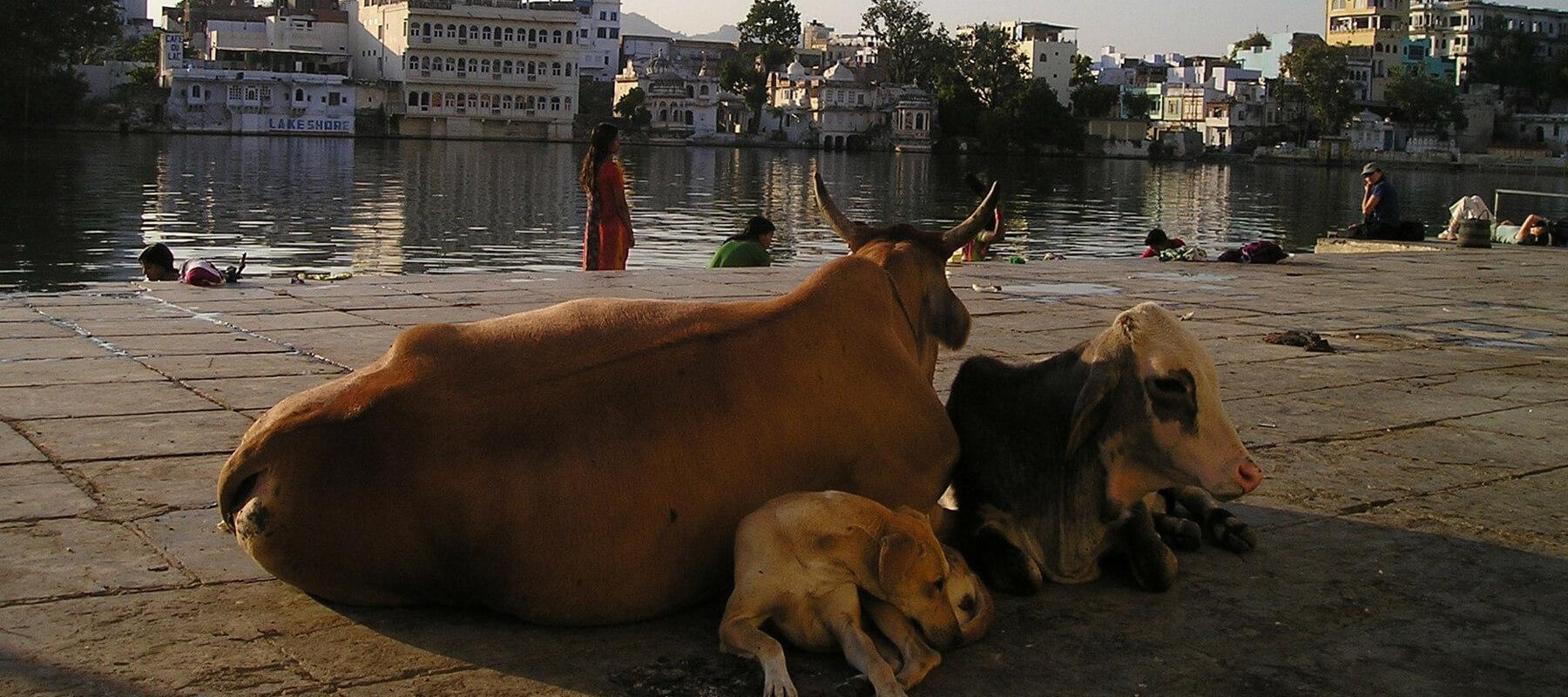 Pourquoi la vache est-elle sacrée en Inde