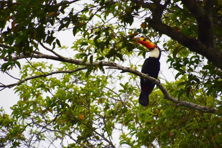 Parc national Madidi toucan