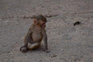 singe-petit-inde