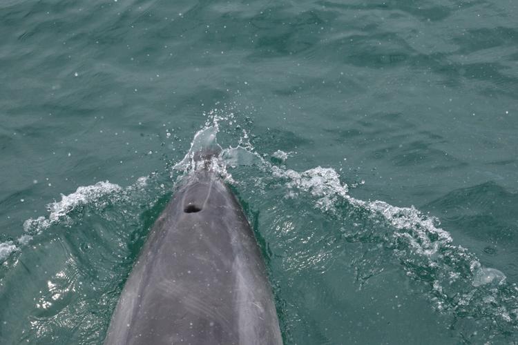 dauphin-nouvelle-zelande-2