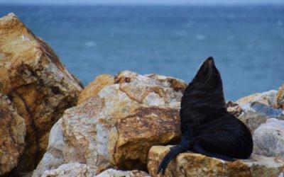 Où voir des phoques en Nouvelle Zélande? La péninsule d'Otago