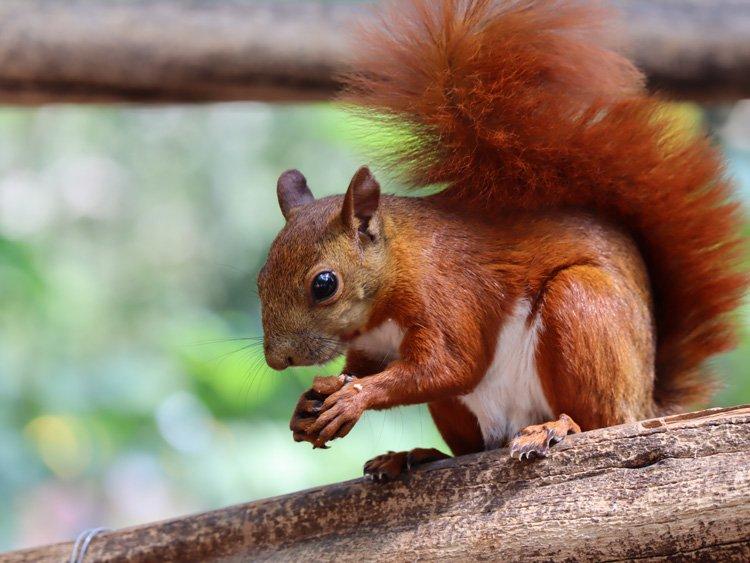 san Gil écureuil
