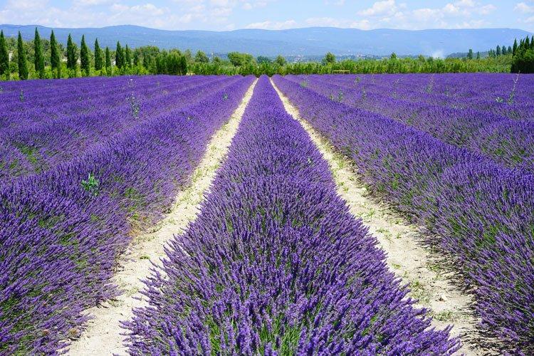 Lavande Provence-Alpes-Côte d'Azur